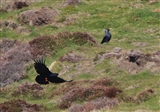 Chough flying past a Raven