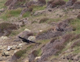 Chough flying