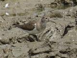 Common Sandpiper, Saltholme Hide 04/07/2014