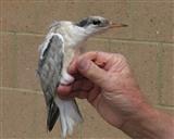 Common Tern juvenile, Saltholme Hide 04/07/2014