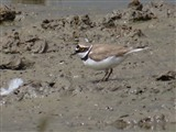 Little Ringed Plover, Saltholme Hide 04/07/2014