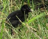 Water Rail chick, Wildlife Watchpoint