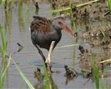 Water Rail adult Wildlife Watchpoint