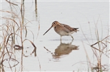 Snipe at the wildlife Watchpoint