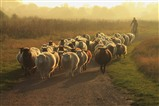 Bringing in the Sheep