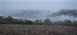 starlings roosting