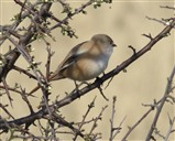 Another picture of the female Bearded tit. 01/04/2014