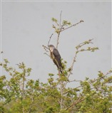Otmoor Cuckoo 22nd April 2014
