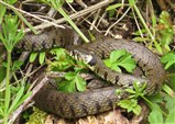 Grass snake warming up beside the visitor trail (12 June)