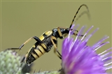 Longhorn Beetle — Strangalia Maculata