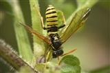 Figwort Sawfly on Nettles