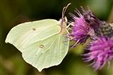 Butterfly – Brimstone (Gonepteryx rhamni)
