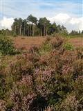 August heather