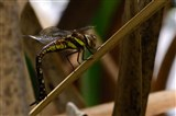 Migrant Hawker Dragonfly October 2014