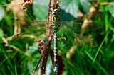 Southern Hawker Dragonfly September 2014