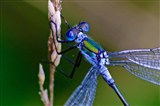 Emerald Damselfly September 2014