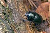 Dung Beetle — Geotrupes vernalis (Dor Beetle)