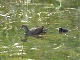 Moorhen juvenile and chick