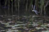Dragonfly making a U turn