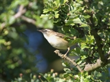 Sedge warbler at Fowlmere, 12/6/14