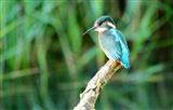 Kingfisher @ Springhide
