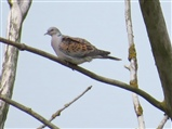 Turtle Dove in large dead tree