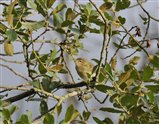 willow warbler by Darrell