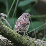 Juvenile Robin - 23 8 13