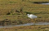 Little Egret on Campfield Marsh - 4th March 2014