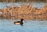 Tufted duck on the Meadow Pools - 5 11 14.