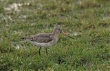 Black-tailed Godwit - 13 12 14