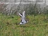 Black-tailed Godwit - 13 11 14