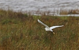 Little Egret winging its way along the marsh - 29 10 15