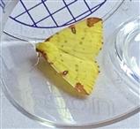 Yellow Brimstone Moth - 3rd June 2016