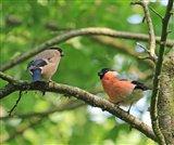 Bullfinches - 5th June 2016