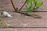 Common Lizard - 16 6 16