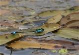 Blue-tailed Damselfly - 16 6 16
