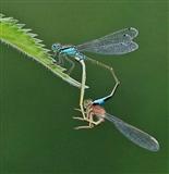 Blue-tailed Damselflies in 'Wheel' configuration - 12 6 116