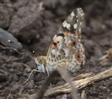 Painted Lady Butterfly - 16 6 16