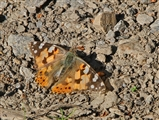 Painted Lady - 18 6 16