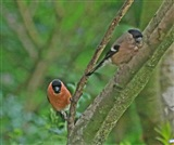 Bullfinch pair on branch 18 6 16