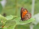 Meadow Brown Butterfly - 20 6 16