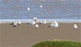 Herring Gulls on the mudflats - 21 6 16