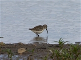 curlew sandpiper seen Middleton Lakes 2014 09 17