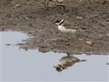 Ringed Plover seen Middleton Lakes 2014 09 17