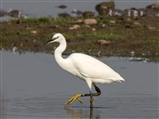 Little Egret seen Middleton Lake 2014 09 17