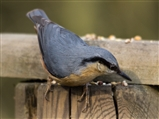 nuthatch - Middleton Lakes 2015 04 08