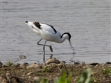 avocet - Middleton Lakes 2015 04 08