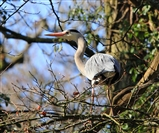 Heron looking for twigs