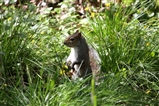 Grey Squirrel at swell Wood